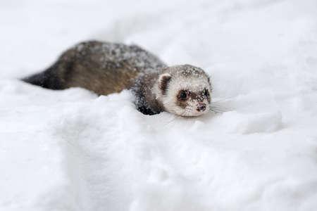 Schönes wildes Frettchenspiel im Schnee