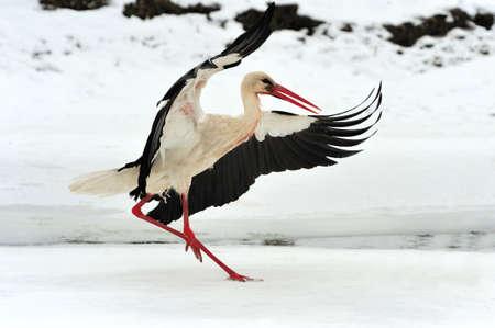 Schließen Sie schönen Storch im Winter