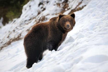 Bear in winter forest Standard-Bild