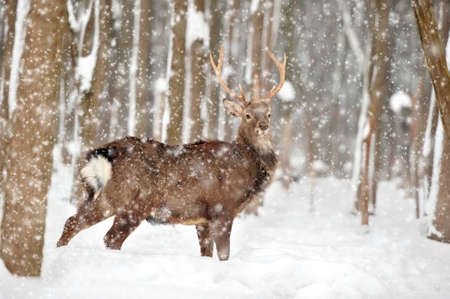 Close young deer in winter time Standard-Bild