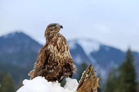 Hawn on a branch in winter time Standard-Bild
