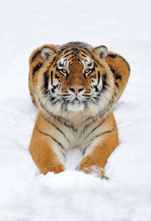Close wild siberian tiger in winter time Banque d'images