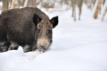 Wild boar in winter forest