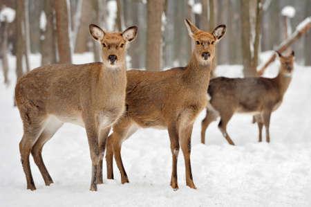 Schließen Sie junge Rotwild in der Winterzeit Standard-Bild