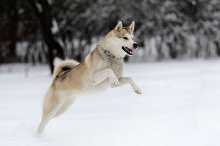 Young siberian husky dog in snow