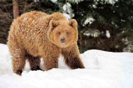Wilder Braunbär im Winterwald