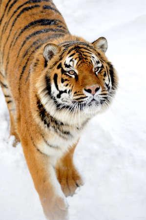 Schließen Sie wilden sibirischen Tiger in der Winterzeit Standard-Bild