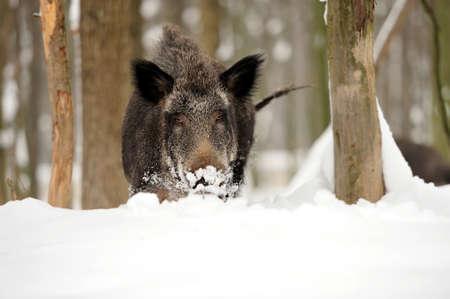 Wildschwein im Winterwald