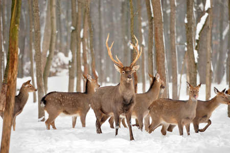 Close young deer in winter time Stock Photo