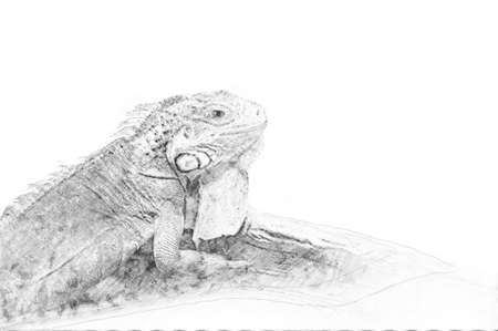 Iguana. Black and white sketch with pencil Standard-Bild