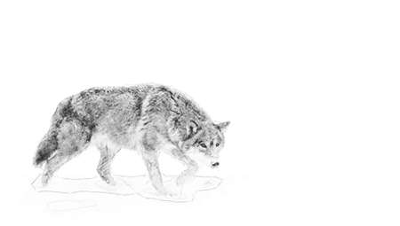 Wolf. Black and white sketch with pencil