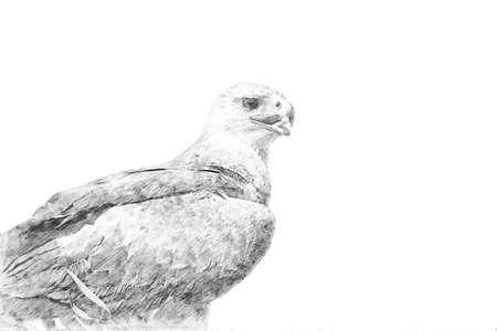 Eagle. Black and white sketch with pencil Standard-Bild