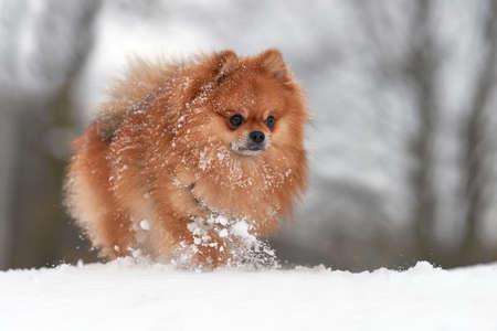 Baby pomeranian spitz playing in winter day