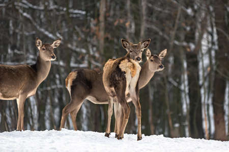 Young female doe deer in winter forest