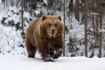 Sauvage ours brun cub gros plan dans la forêt d & # 39 ; hiver Banque d'images - 95279886