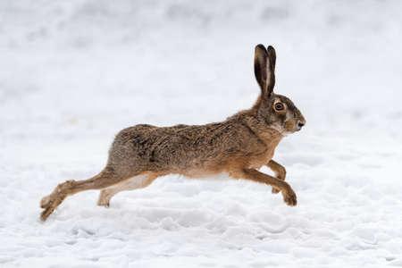 Hare running in the winter field Foto de archivo