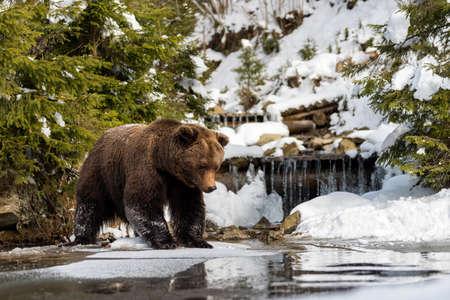 Close wild big brown bear near a forest lake