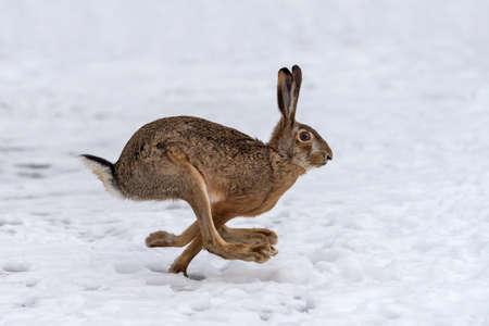 Hare running in the winter field Archivio Fotografico