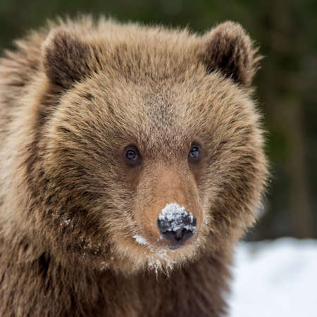 Wild brown bear cub closeup in winter forest Stock Photo