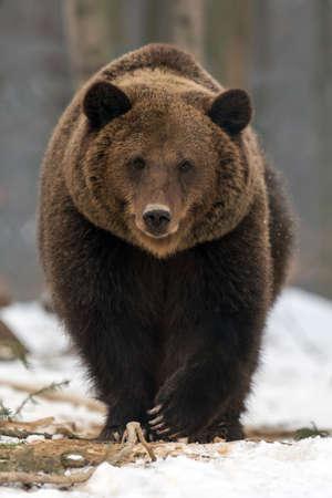 Close wild big brown bear in winter forest