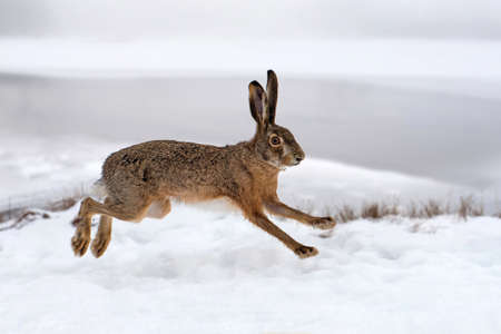 Hare running in the winter field Фото со стока