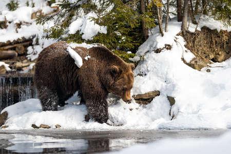 Close wild big brown bear near a forest lake Stock Photo