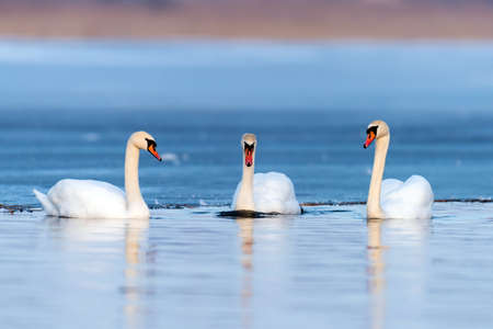 Three swans on the lake. Swan reflection in water