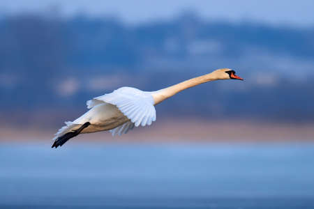 Mute swan, Cygnus olor, single bird in flight at evening