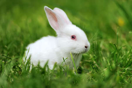 Baby white rabbit in spring green grass background
