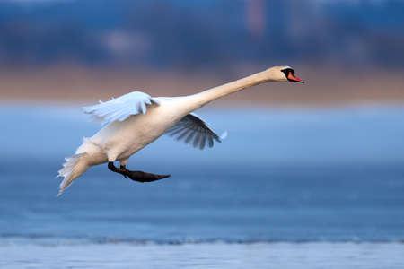 Mute swan, Cygnus olor, single bird in flight at evening