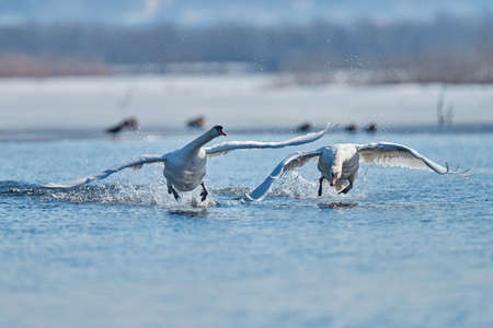 Two male swans, Cygnus olor, during a fight for supremacy in mating season on the River