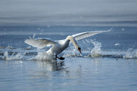 Swan taking flight on spring blue lake Stock Photo