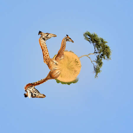 360 degree view of Giraffe in National park of Kenya, Africa