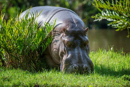 Hippo (Hippopotamus amphibius) in National park of Kenya, Africa