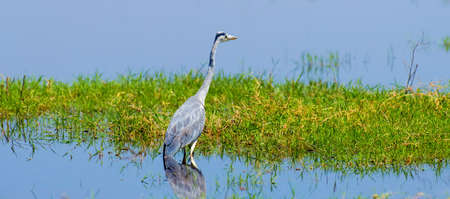 Close-up gray heron in a grass on river coast Stock Photo