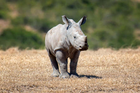 African white rhino, National park of Kenya Stock Photo