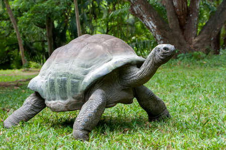 Close big old african tortoise in the grass