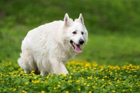 White german shepherd in the summer meadow. Berger Blanc Suisse