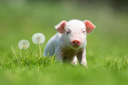 Newborn piglet on spring green grass on a farm Standard-Bild