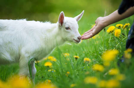 White baby goat standing on green grass with yellow flowers Stock Photo