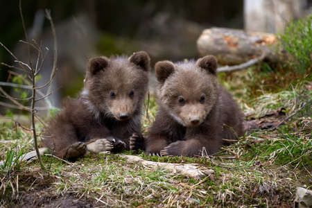 Wild brown bear cub closeup in summer forest Banque d'images