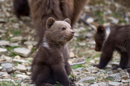 Wild brown bear cub closeup in summer forest Stock Photo