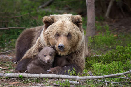 Bear with cubs (Ursus Arctos) on the summer forest