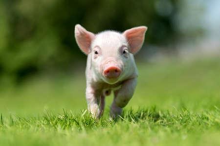 Maialino neonato sull'erba verde primaverile in una fattoria