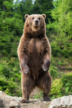 Brown bear (Ursus arctos) standing on his hind legs in the spring forest Фото со стока