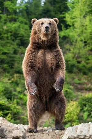 Oso pardo (Ursus arctos) de pie sobre sus patas traseras en el bosque de la primavera Foto de archivo