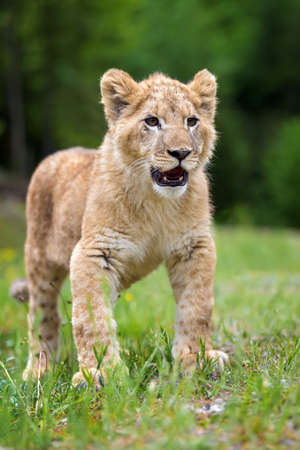 Close young lion cub in the wild