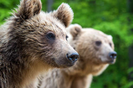 Bear cub with their mother in the summer forest