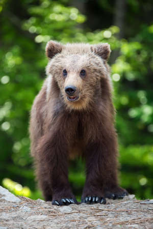 Brown bear cub in the forest. Animal in the nature habitat