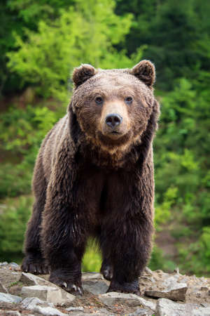 European brown bear in a forest. Wild animal in the nature habitat